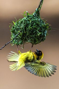 Male Weaver attracting females. Photo by Manoj Shah — National Geographic Your Shot
