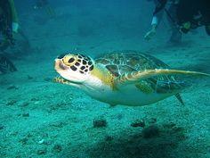 Hawksbill Turtle on the MV Tallata