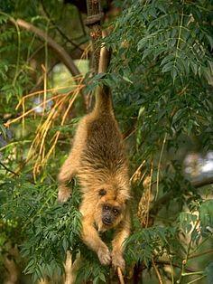 Parque Nacional  - mono aullador. Chaco, Argentina