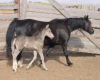 Morgan Colors- Smoky Black Morgan Horses