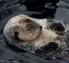 Cute sleeping sea otter <3