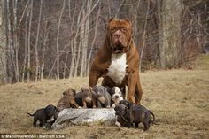 A photograph of Hulk the pitbull and his offspring together near their home in New Hampshire. Hulk is said to be largest American pitbull.