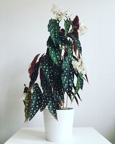 Houseplants for Better Sleep Begonia MaculataBegonia maculata - Nancy sent a cutting I believe of this. It rooted & is slowly growing. The leaves are long & glossy like this & not wide like my angel wing one.Summer Home Hack: The Houseplants That'll