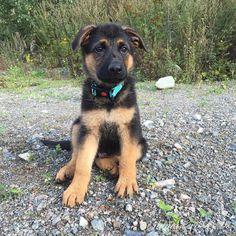 GSD Puppy-Cero