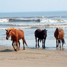 Wild horses on the beach in the Outer Banks of North Carolina...one of my not so far away dream vacation spots....