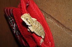 All I want for Christmas is.a cute baby Dragon! Baby Dragon, Bearded Dragon, Dragons, Cute Babies, Christmas, Animals, Xmas, Animales, Animaux