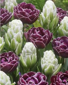 """25 Double Glamour Tulip Bulbs Collection - consists of """"Harbor Light"""" and """"Dream Touch"""" -  - 16-20"""" Ht.  Early-Mid Spring - Pt. Shade/Full Sun.  dutchbulb.com"""
