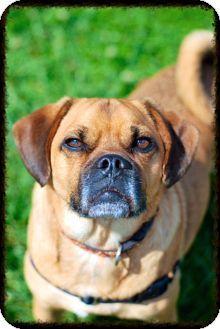 Elyria, OH - Pug/Beagle Mix. Meet Cash-Prison Dog, a dog for adoption. http://www.adoptapet.com/pet/11598176-elyria-ohio-pug-mix