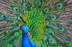 Resultado de imagen para Pavo real de colores