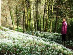 Snowdrop time at Cerney House Gardens, Cirencester