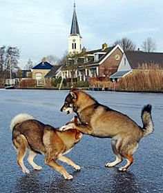 Shikoku dogs playing on the ice. Egmato   kennel in holland.