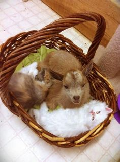 Yes I spend my time looking at cute baby goats in a basket with kittens. Cute Creatures, Beautiful Creatures, Animals Beautiful, Majestic Animals, Beautiful Cats, Cute Baby Animals, Animals And Pets, Funny Animals, Cute Goats