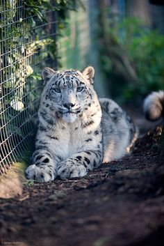 I just can't help but pin snow leopards.