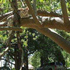 #cats #catwalk #caturday #catsrule #bengals #cat #bengalcat #kitten #bengalkitten #catsofig #catoftheday #catsdaily  #catsgram #catsconnect #catslover #catslovers #bengalsofinstagram #catsdaily #catlover #catstagram #catlovers #feline #catsinstagram #кот #meow #кошка #безкотаижизньнета #whiskas #royalcanin #friskies #iams