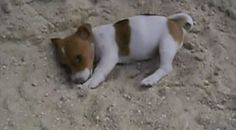 Jack Russell Puppie playing in the sand