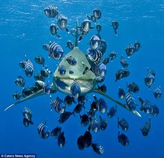Oceanic white tip shark with pilot fishes. Red Sea