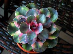 Echeveria Rainbow ( Perle von Nürnberg variegata) | por Esin Iscan