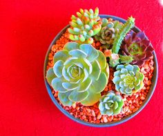 Order one today and feel the excitement of succulents only at Cassiel's Succulent World. Contact 09421869629 for your orders in Cebu now! Succulent Arrangements, Succulents, Visayas, Mindanao, Cebu, Amazing, Succulent Plants, Cebu City, Men's Fitness Tips