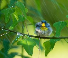 Why Do Birds Avoid Flying in the Rain? It might have more to do with the air than the water. Click to learn more. | Northern Parula. Photo: Tara Tanaka/Audubon Photography Awards