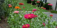 Despite my brown thumb I want to try to plant some flowers this spring...zinnias- rumor is they're easy to grow:)
