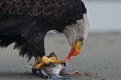 Bald Eagle Festival, Haines, Alaska