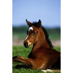 Thoroughbred Foal Co Kildare Ireland Canvas Art - The Irish Image Collection Design Pics (24 x 36)