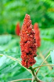 Staghorn Sumac seeds hand-picked from high-quality genetic trees here in Northumberland County, Ontario! Tree: Rhus Typhina A.A : Eastern Canadian Sumac , lemonade of the woods Zones: Harvested From to Zone Plant yourself a furry red giant today! Giants Today, Red Giant, Step By Step Instructions, Harvest, Seeds, Plants, Etsy, Plant, Planets