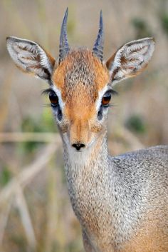 Look at those big eyes and tiny mouth. Close-up portrait of a Dik Dik antelope taken in Serengeti National Park Tanzania, Africa. - title I See You!