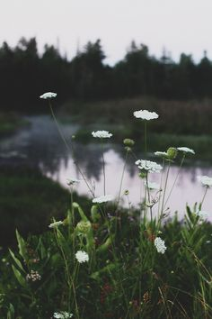 queen anne's lace | nature photography