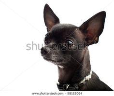 black chihuahua - Looks like my Daizy Mae Black Chihuahua, Cute Chihuahua, Chihuahua Puppies, Chihuahuas, Baby Dogs, Pet Dogs, Dog Cat, Pets, Chi Dog