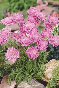 Scabiosa Pink Mist Flower   Pincushion Flower 'Pink Mist' (Scabiosa columbaria ...