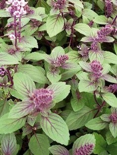 Basil Magic Mountain With Its Glossy Purple Tinted Foliage And Tall Spikes Of Lilac