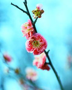 Peach flowers by Mars-Hill on DeviantArt