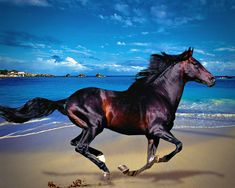 A photograph of a beautiful dark shiny horse, galloping along the sandy beach with turquoise salt water and a blue cloud filled sky. Beautiful Arabian Horses, Most Beautiful Horses, Majestic Horse, All The Pretty Horses, Horse Photos, Horse Pictures, Western Riding, Horse Photography, Horse Art