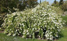 Exochorda racemosa 'The Bride' – parelstruik, struik tot 1.75 hoog, overhangende taken, bloeit zuiver wit mei- juni, houd van een zonnige standplaats en kan op veel grondsoorten, liever niet op kalkrijke grond