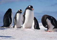 Antarctica Five Penguins  Fine Art Photography by CarolFletcher, $18.00