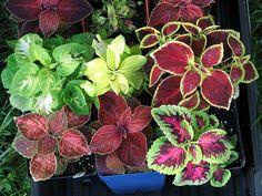 Plant of Interest: Coleus or 'Mayana' Plant