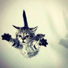 #Cats  #Cat  #Kittens  #Kitten  #Kitty  #Pets  #Pet  #Meow  #Moe  #CuteCats  #CuteCat #CuteKittens #CuteKitten #MeowMoe      I believe I can fly! ...   https://www.meowmoe.com/48617/ Soft Kitty Warm Kitty, Here Kitty Kitty, Kitty Cats, Love Your Pet, All Gods Creatures, My Animal, Puppies And Kitties, Kittens, Funny Animals