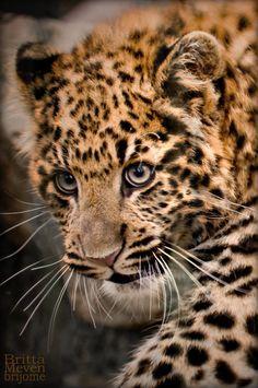 Leopard cub 9 by brijome on DeviantArt