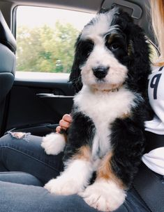 See more of caitymiller's content on VSCO. Cute Dogs And Puppies, Baby Puppies, Pet Dogs, Doggies, Teacup Puppies, Cute Baby Animals, Animals And Pets, Bernedoodle Puppy, Goldendoodles
