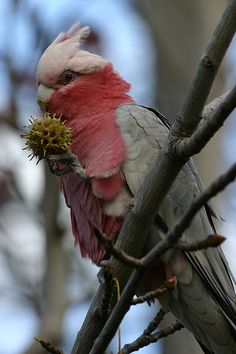 Rose-breasted Cockatoo   a.k.a.  Galah Cockatoo, Eolophus roseicapilla  -  Australia