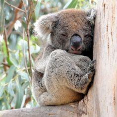 Koala by Franco Mottironi