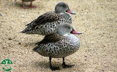 Cerceta de El Cabo en el parque zoológico ornitológico de Avifauna Lugo