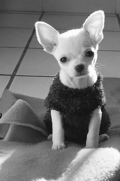 Aren't I cute ? Chihuahua