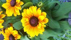 Tiger Eye Gloriosa Daisy - Rudbeckia 'Tiger Eye' Gloriosa Daisy, Plants, Landscape, Fall Plants, Garden