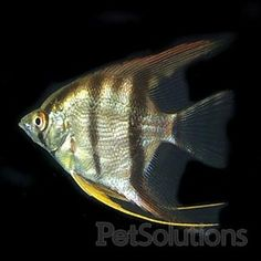 1000 images about aquarium on pinterest angelfish fish for Semi aggressive fish