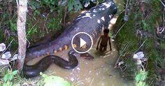 anaconda-gigante anaconda-gigante