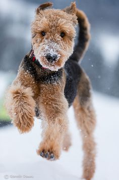 Welsh Terrier / Airedale Terrier dog art portraits, photographs, information and just plain fun. Also see how artist Kline draws his dog art from only words at drawDOGS.com #drawDOGS