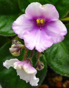 Ness Angel Eyes African Violet Flower