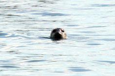 Harbor Seal in Narragansett Bay